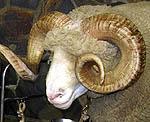 牧山ひろえ・NZの羊